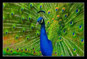 a peacock extra