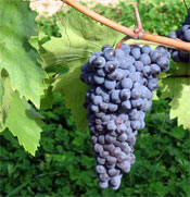 Grape Skins spawned idea that lead to antibiotics.