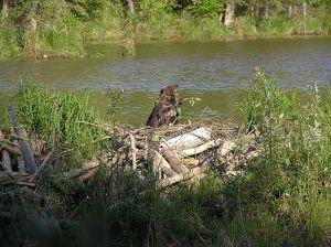 beaver and dam
