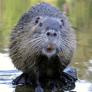 beaver_looking_camera