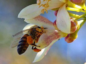 bee-pollen-2