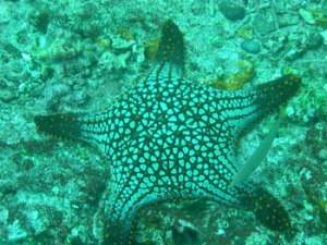 star fish in water
