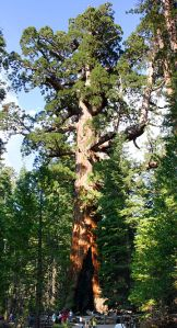sequoia Grizzly_Giant_Mariposa_Grove